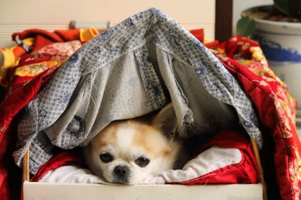 dog-under-cover