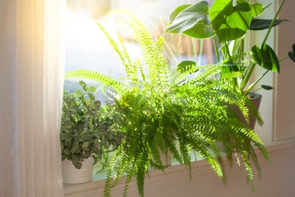 fern plants to purity bedroom air