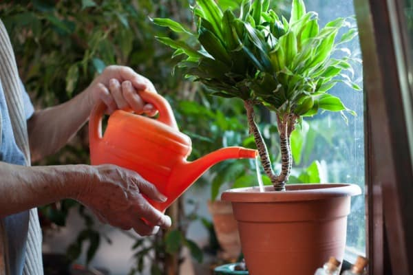 overwatering house plant