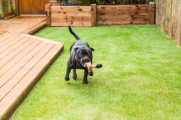 pet on artificial turf